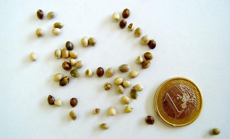 Comprar pero no usar: Las semillas, ya que no cuentan aún con THC y otras sustancias que hace de la marihuana una droga, tienen luz verde en el mercado. En el mercado de souvenirs. (Foto: floresyplantas.net)